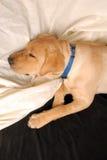 Κουτάβι ύπνου Στοκ φωτογραφίες με δικαίωμα ελεύθερης χρήσης