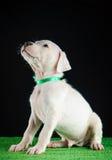 Κουτάβι Argentino Dogo στοκ εικόνες