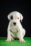 Κουτάβι Argentino Dogo στοκ εικόνα