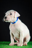 Κουτάβι Argentino Dogo Στοκ φωτογραφία με δικαίωμα ελεύθερης χρήσης