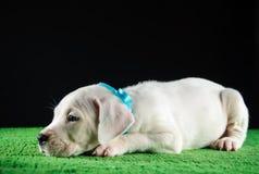 Κουτάβι Argentino Dogo Στοκ φωτογραφίες με δικαίωμα ελεύθερης χρήσης