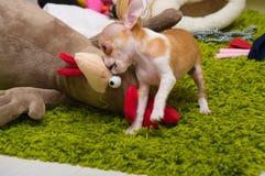 Κουτάβι Chihuahua μίνι στοκ εικόνα με δικαίωμα ελεύθερης χρήσης