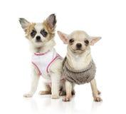 Κουτάβι Chihuahua (3 μηνών) Στοκ εικόνα με δικαίωμα ελεύθερης χρήσης