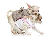 Κουτάβι Chihuahua (3 μηνών) Στοκ Φωτογραφία