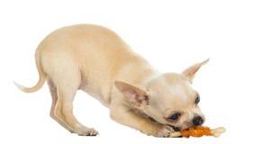 Κουτάβι Chihuahua που τρώει ένα κόκκαλο, κατώτατο σημείο επάνω Στοκ Φωτογραφίες