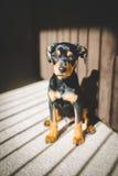 Κουτάβι Chihuahua Dachshund Στοκ Φωτογραφίες