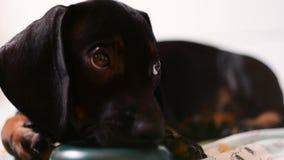 Κουτάβι dachshund που παίζει με το παιχνίδι φιλμ μικρού μήκους