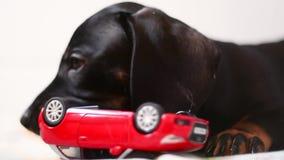 Κουτάβι dachshund που παίζει με το παιχνίδι απόθεμα βίντεο