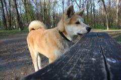 κουτάβι inu akita Στοκ φωτογραφία με δικαίωμα ελεύθερης χρήσης