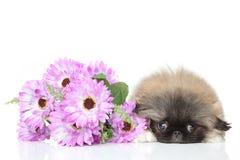 Κουτάβι Pekinese στο λουλούδι Στοκ εικόνες με δικαίωμα ελεύθερης χρήσης