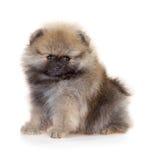 Κουτάβι Pomeranian σε ένα άσπρο υπόβαθρο Στοκ φωτογραφία με δικαίωμα ελεύθερης χρήσης