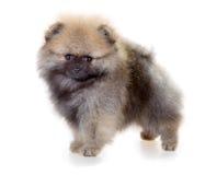 Κουτάβι Pomeranian σε ένα άσπρο υπόβαθρο Στοκ Εικόνα