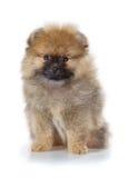 Κουτάβι Pomeranian σε ένα άσπρο υπόβαθρο Στοκ εικόνα με δικαίωμα ελεύθερης χρήσης