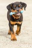 Κουτάβι Rottweiler με το λαστιχένιο παιχνίδι κόκκαλων Στοκ Φωτογραφίες