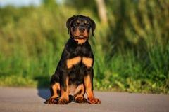 Κουτάβι Rottweiler που θέτει υπαίθρια Στοκ φωτογραφία με δικαίωμα ελεύθερης χρήσης