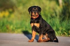 Κουτάβι Rottweiler που θέτει υπαίθρια Στοκ Εικόνες