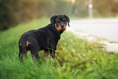 Κουτάβι Rottweiler που θέτει υπαίθρια Στοκ Εικόνα