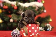 Κουτάβι Santa στο χριστουγεννιάτικο δέντρο στο παρόν κιβώτιο στοκ εικόνες