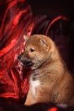 Κουτάβι Shiba Inu φυλής σκυλιών Στοκ Φωτογραφίες