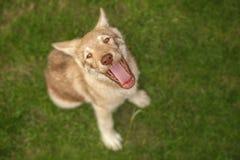 Κουτάβι Wolfdog Saarloos Στοκ Φωτογραφίες