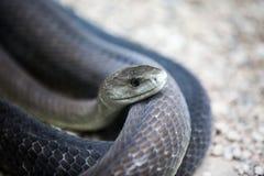 Κουλουριασμένο μαύρο φίδι mamba Στοκ Εικόνες