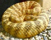 κουλουριασμένο φίδι Στοκ Εικόνα