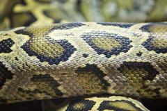 Κουλουριασμένο python δέρμα Στοκ Εικόνα
