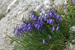 Κουδούνι-λουλούδι  caespitosa campanula Στοκ Φωτογραφία
