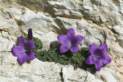 Κουδούνι-λουλούδι  morettiana campanula Στοκ Φωτογραφίες