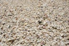 κοχύλια θάλασσας ανασκό Στοκ φωτογραφίες με δικαίωμα ελεύθερης χρήσης