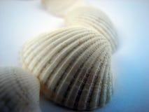 κοχύλια θάλασσας Στοκ Φωτογραφία