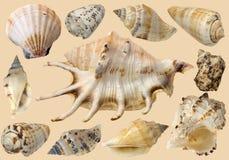 κοχύλια θάλασσας στοκ εικόνες