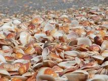 κοχύλια θάλασσας Στοκ Φωτογραφίες