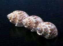 κοχύλια τρία θάλασσας Στοκ φωτογραφία με δικαίωμα ελεύθερης χρήσης