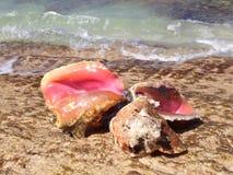 Κοχύλια Conch Στοκ Φωτογραφίες