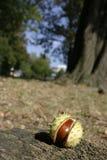 κοχύλι αλόγων κάστανων Στοκ φωτογραφίες με δικαίωμα ελεύθερης χρήσης