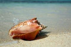 Κοχύλι θάλασσας βασίλισσας conch καραϊβικό Στοκ Εικόνες