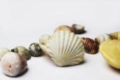 Κοχύλι θάλασσας και σαλιγκάρι θάλασσας στο λευκό Στοκ Φωτογραφίες