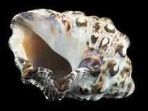 κοχύλι θάλασσας κόλπων aqaba Στοκ εικόνα με δικαίωμα ελεύθερης χρήσης