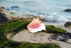 κοχύλι θάλασσας παραλιώ&n Στοκ φωτογραφίες με δικαίωμα ελεύθερης χρήσης