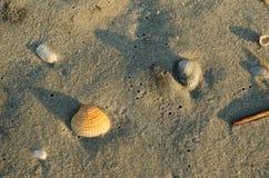 Κοχύλι θάλασσας στην αμμώδη παραλία Στοκ Εικόνες