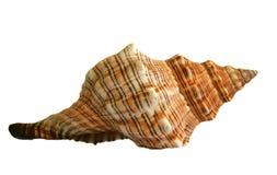 κοχύλι θάλασσας Στοκ εικόνες με δικαίωμα ελεύθερης χρήσης