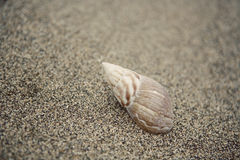 κοχύλι θάλασσας Στοκ Εικόνα