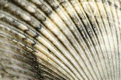 κοχύλι θάλασσας Στοκ Φωτογραφίες