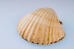 κοχύλι θάλασσας Στοκ Φωτογραφία