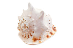 κοχύλι θάλασσας cornuta cassis Στοκ Εικόνα