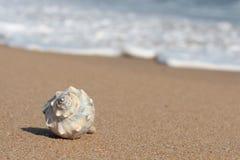 κοχύλι παραλιών conch στοκ φωτογραφία με δικαίωμα ελεύθερης χρήσης