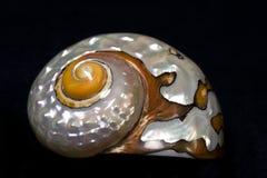 κοχύλι τούρμπο sarmaticus Στοκ φωτογραφία με δικαίωμα ελεύθερης χρήσης