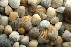 κοχύλι 4 θάλασσας Στοκ φωτογραφίες με δικαίωμα ελεύθερης χρήσης