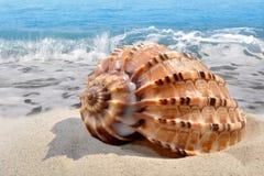 Κοχύλι Conch στην παραλία Στοκ εικόνα με δικαίωμα ελεύθερης χρήσης